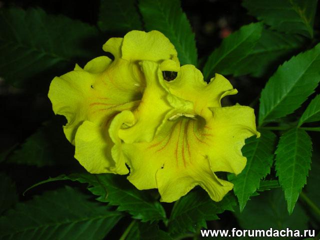 Желтый тюльпанный куст, Текома прямостоячая, Tecoma stans, Yellow elder