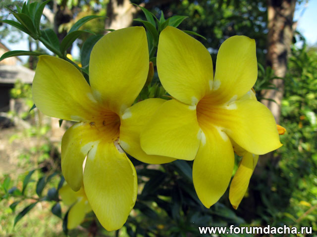 ��������� �������� �������, Allamanda cathartica �Golden Butterfly�