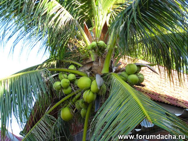 Кокосовая пальма, Кокосы