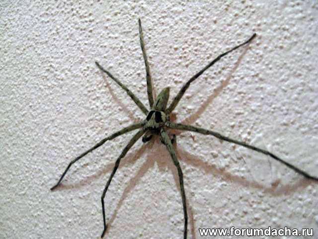 паук, большой паук, пауки в Тайланде