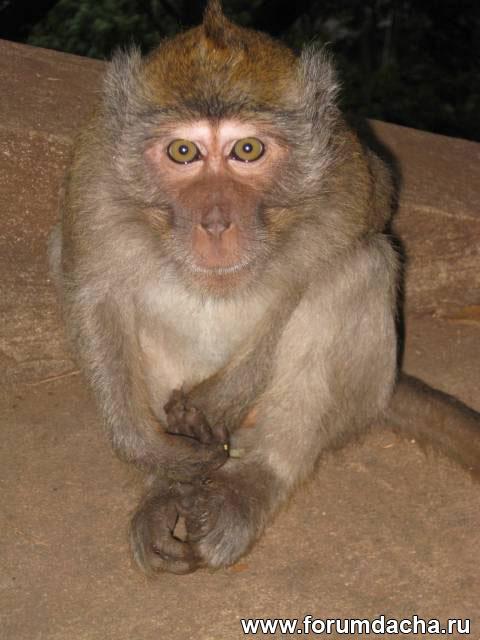 обезьяна