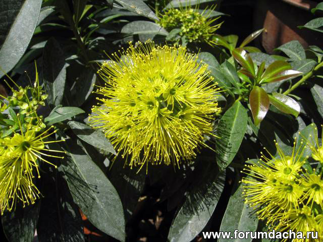 Ксантостемон золотистый, Xanthostemon chrysanthus