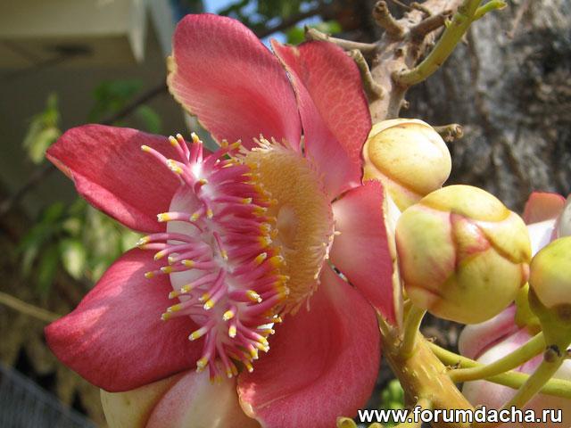 Курупита гвианская, Couroupita guianensis