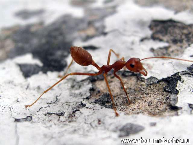 муравей, рыжий муравей, муравей фото, муравей в картинках