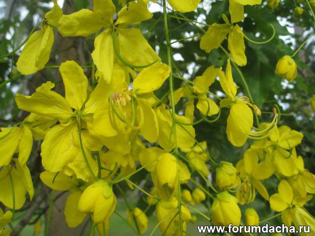 ������� ������, ������� �����, Cassia fistula, Golden Shower Tree, Indian Laburnum, ������ ���������, Ratchaphruek