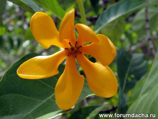 Gardenia Tubifera Kula, Гардения Кула, Золотая гардения