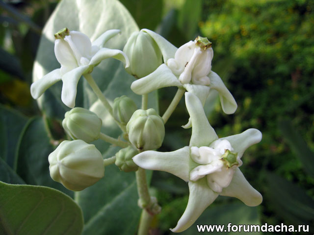Калотропус, Calotropis, Калотропус Гигантский, Calotropis Gigantea, Purple Crown Flower, Giant Milkweed