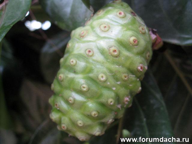 Сырное дерево, моринда цитрусолистная, Morinda citrifolia, Morinda officinalis