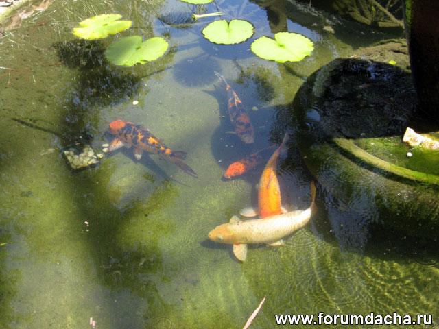 декоративные сомы, водоем с сомами, пруд с рыбками, пруд с сомами