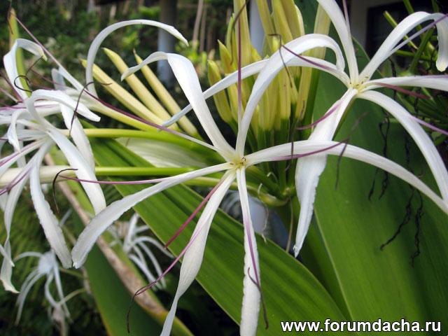 Кринум азиатский, Crinum asiaticum