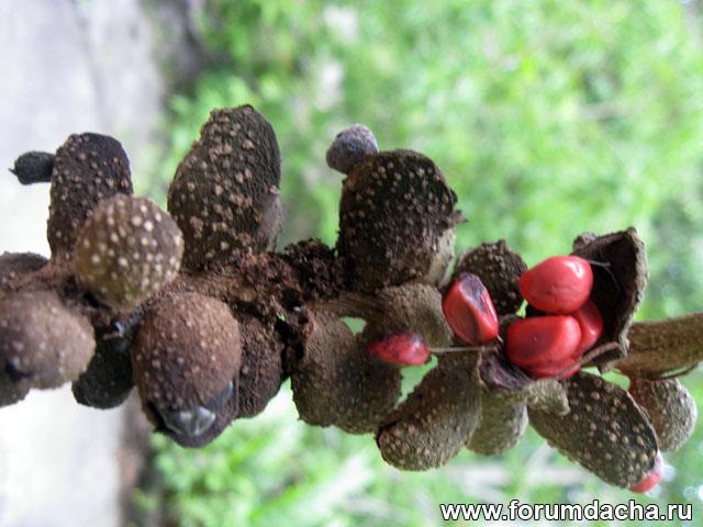 семена михелии