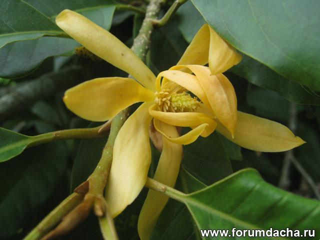Михелия чампака, Michelia champaca, Magnolia champaca