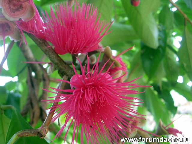 Сизигиум малаккский, Малайское яблоко, Eugenia malaccensis, эвгения малаккская, джамбу бол, померак, Caryophyllus malaccensis