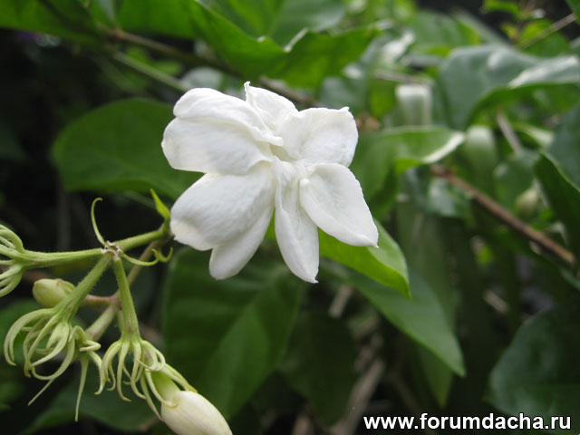 Жасмин Самбак, Nyctanthes sambac, Jasminum sambac