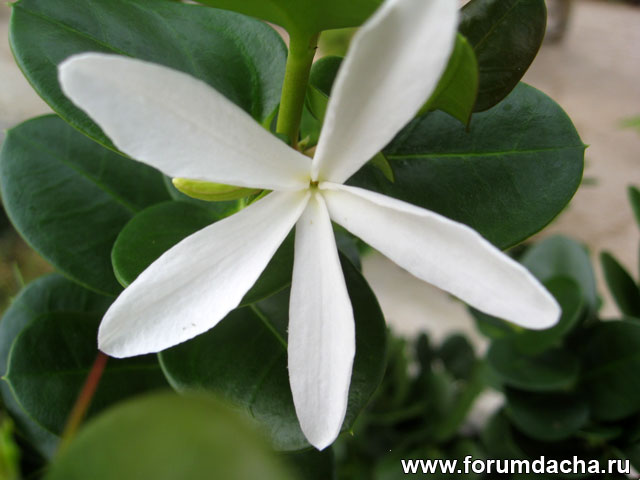 Карисса крупноплодная, Carissa macrocarpa