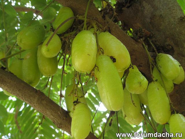 Аверроа билимби, Огуречное дерево, Averrhoa bilimbi