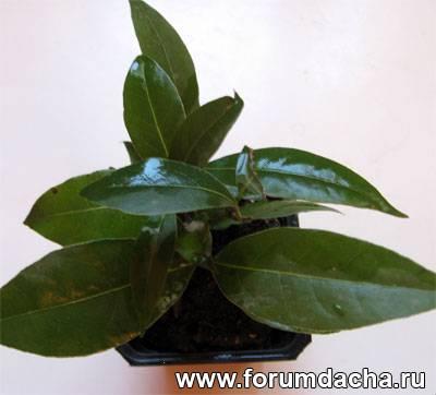 Лавровый лист, выращивание лаврового листа, вырастить лавровый лист